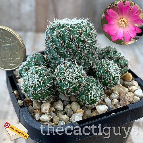 Sulcorebutia crispata - Nice Clump (CG) 68mm pot