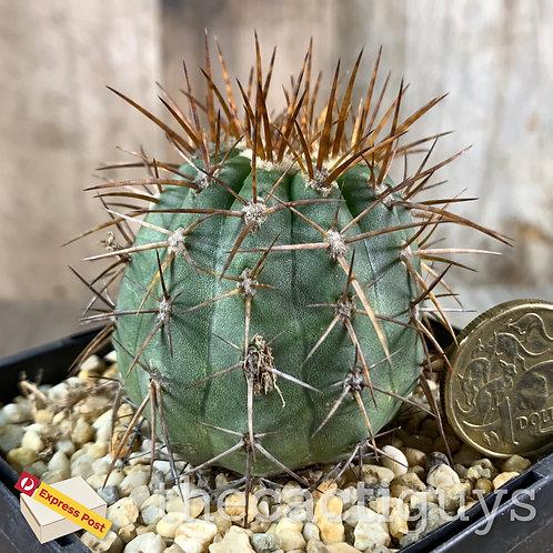 Copiapoa sp. - Deep Orange Spines (CG) 85mm pot