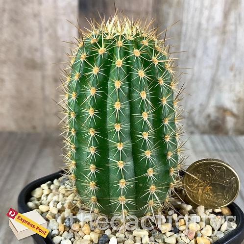 Tricho. huascha (CG) 85mm pot