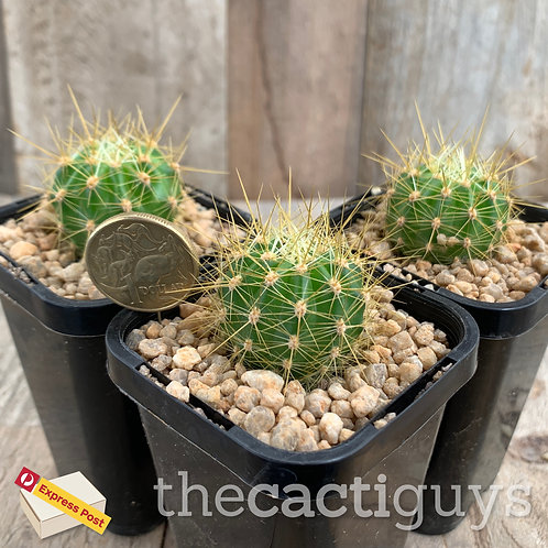 Tricho./Echinopsis cv. 'Graser's Schonste' OP hybrid (SG) 68mm pot