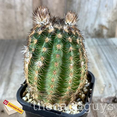 Echinocereus reichenbachii [B] (SG) 68mm pot