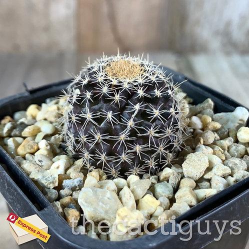Copiapoa tenuissima - Crest Clone Revert (CG) 68mm pot