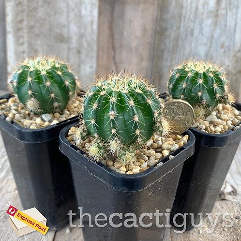 Echinopsis boyuibensis (CG) 68mm pot