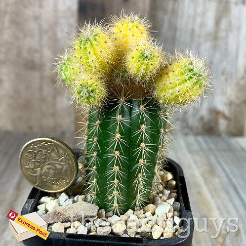 Echinopsis sp. f. variegata (GC) 68mm pot