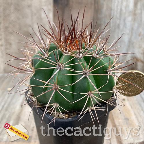 Melocactus matanzanus 'Miniature Fez Hat' (SG) 68mm pot