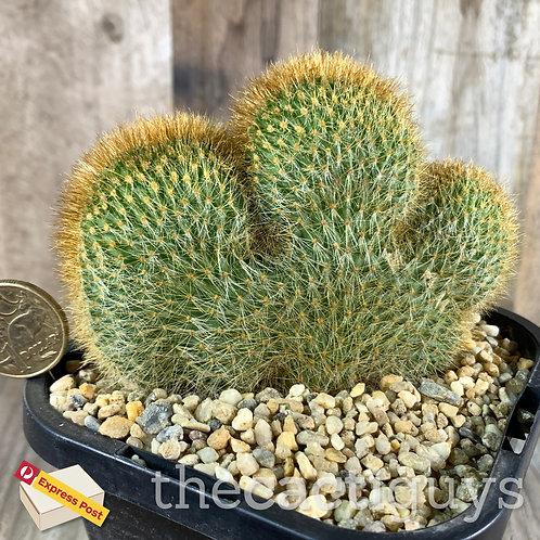 Cleistocactus vulpis-cauda f. cristata (CG) 116mm pot