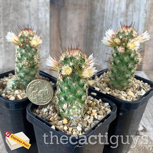 Mammillaria elongata cv. 'Copper King' (CG) 68mm pot