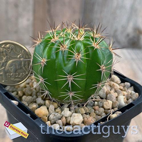 Echinopsis caespitosa (CG) 68mm pot