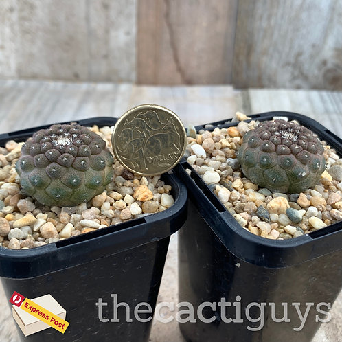 Copiapoa hypogaea var. barquitensis [Smaller] (CG) 68mm pot