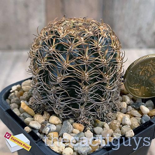 Lobivia schieliana - Beautiful dense spines (CG) 68mm pot