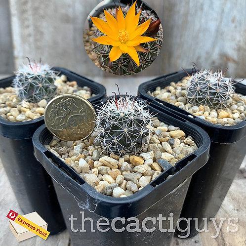 Mammillaria beneckei (CG) 68mm pot