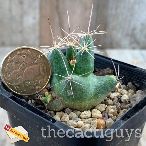 Coryphantha macromeris (CG) 68mm pot