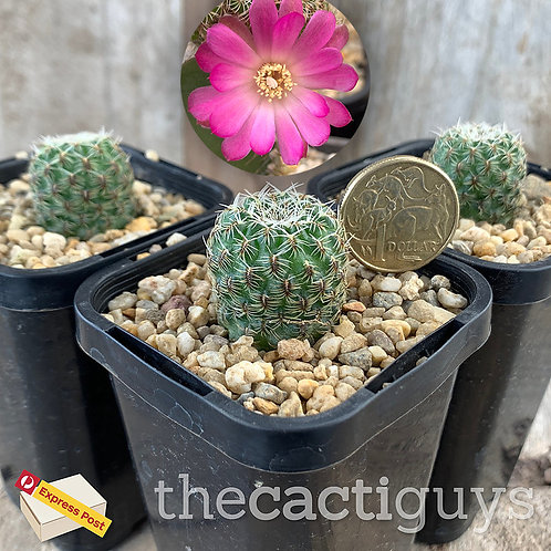 Sulcorebutia crispata - Smaller (CG) 68mm pot