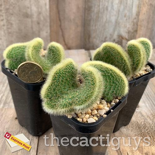 Cleistocactus winteri f. cristata (CG) 68mm pot