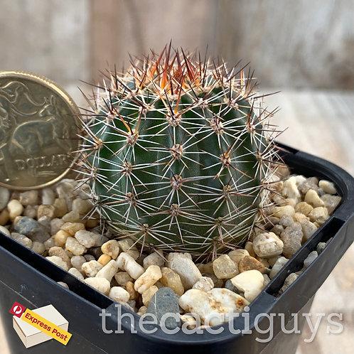 Echinopsis densispina (CG) 68mm pot