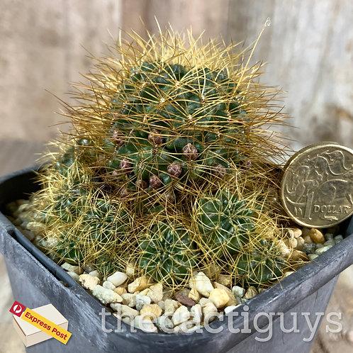 Sulcorebutia vasqueziana [Larger] (CG) 85mm pot