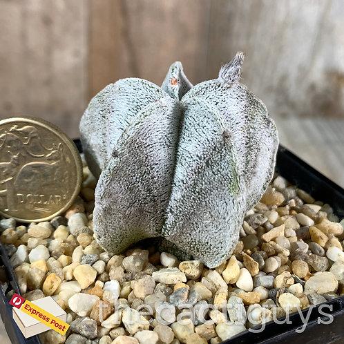 Astrophytum coahuilense (SG) 85mm pot