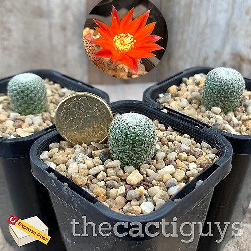 Rebutia heliosa [Smaller] (CG) 68mm pot
