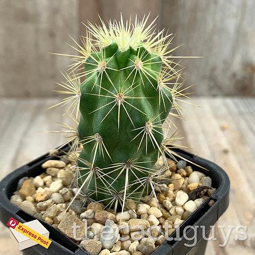 Echinocereus brandegeei (CG) 68mm pot