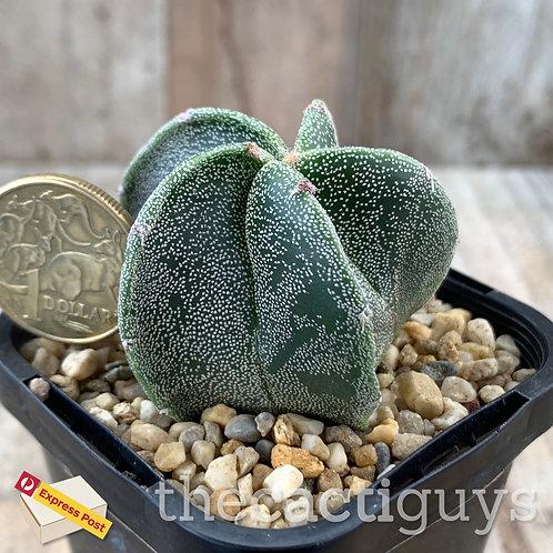 Astrophytum myriostigma [A] (SG) 68mm pot
