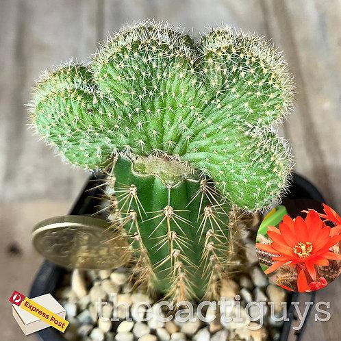 Echinopsis chamaecereus f. cristata 'Crested Peanuts Cactus' Graft (GC) 68mm pot