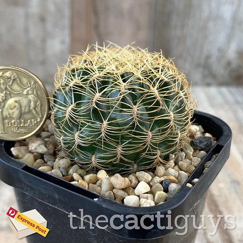 Sulcorebutia candiae (CG) 68mm pot