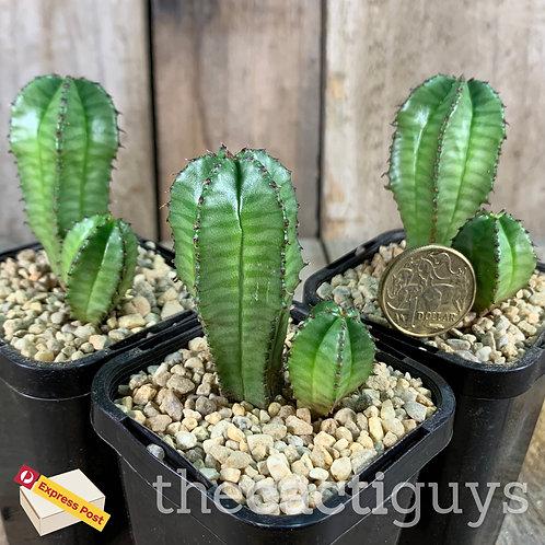 Euphorbia anoplia 'Tanzanian Zipper Succulent' (CG) 85mm pot