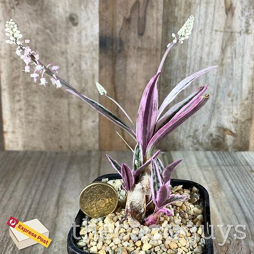 Ledebouria/Scilla violacia f. variegata (CG) 85mm pot