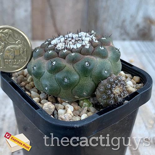 Copiapoa hypogaea var. barquitensis [B] (CG) 68mm pot