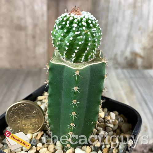 Parodia (Notocactus) scopa f. inermis Graft (GC) 68mm pot
