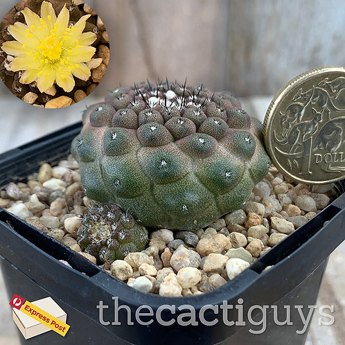 Copiapoa hypogaea var. barquitensis [A] (CG) 68mm pot