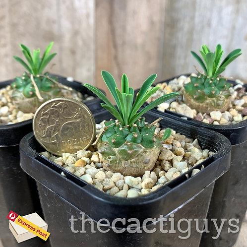 Euphorbia cv. cocklebur/'Pineapple Head' (CG) 68mm pot