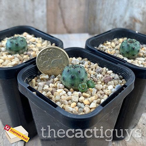 Sulcorebutia rauschii 'Apple Green' form [Smaller] (CG) 68mm pot