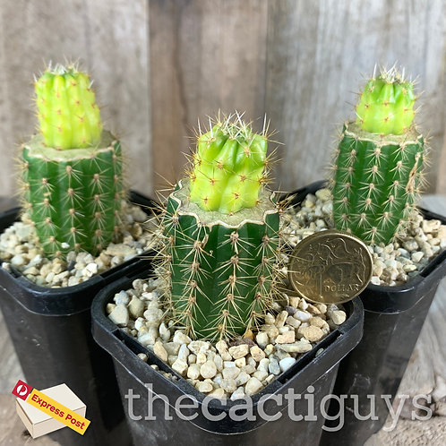 Lobivia hertrichiana f. variegata (GC) 85mm pot