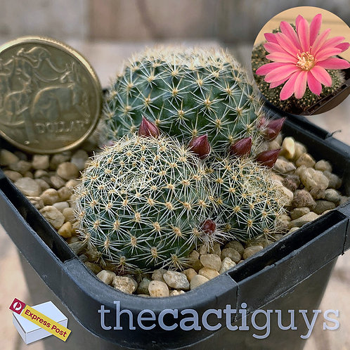 Rebutia hybrid 'Pink Sensation' (CG) 68mm pot
