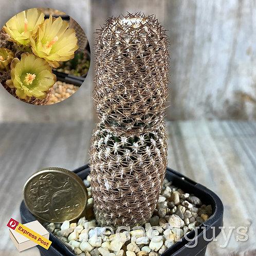 Eriosyce duripulpa (E. napina ssp. duripulpa) [Clone #4] (CG) 68mm pot