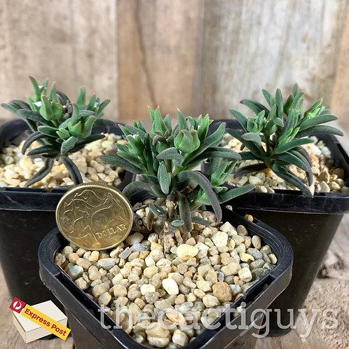 Delosperma bosseranum, Caudex-Forming (SG) 68m pot