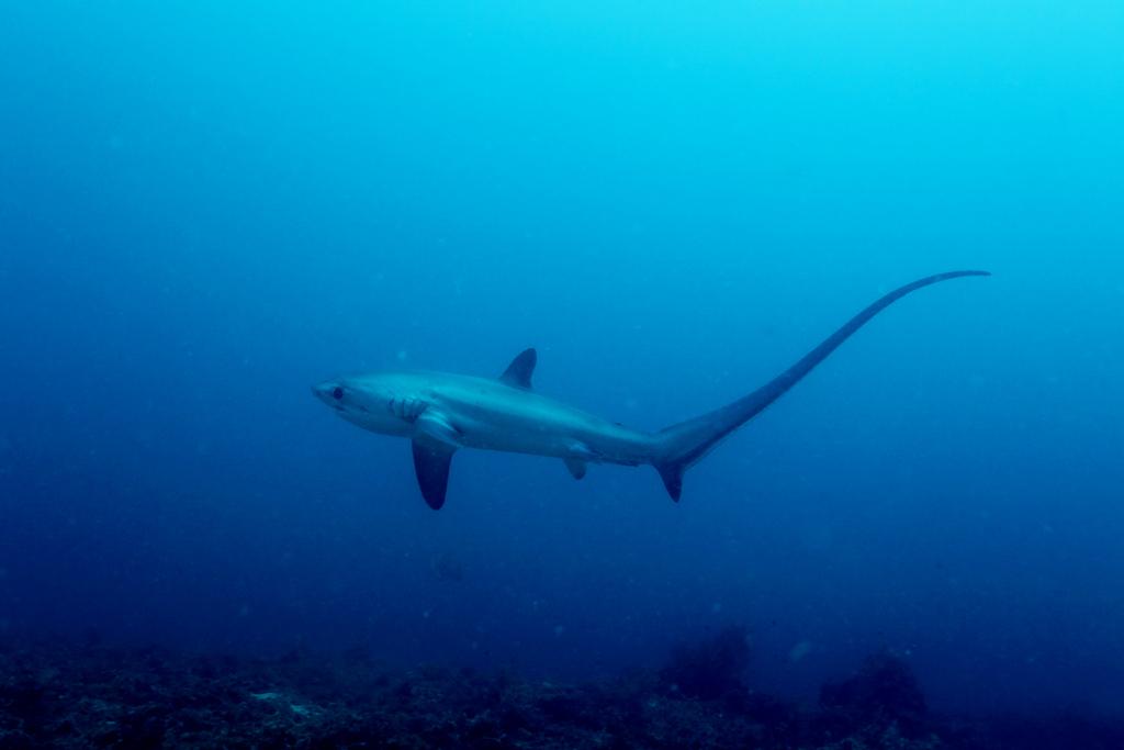 Thresher Shark by Klaus Stiefel
