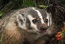 North American Badger (Taxidea taxus) To