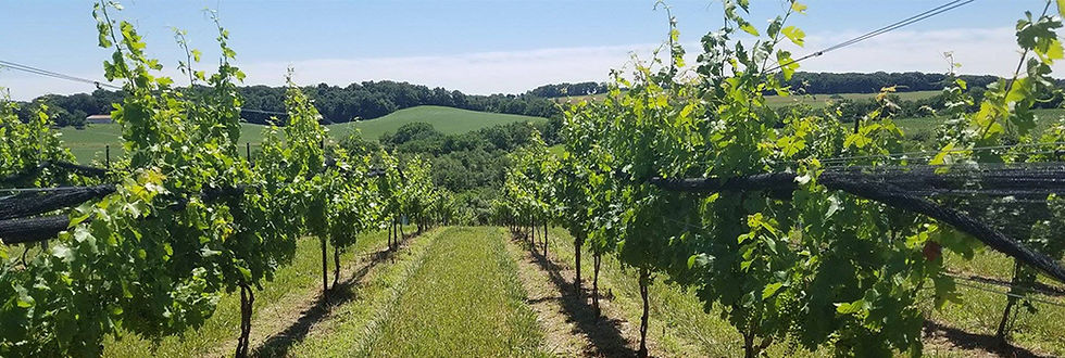 Picture of the vineyard on a sunny summer day