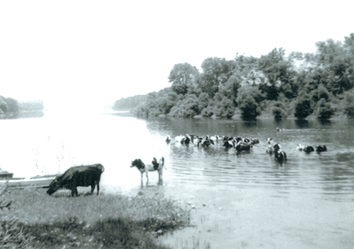 McCarty Cows in the river.jpg