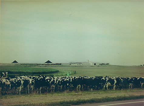 Cows out on pasture.jpg
