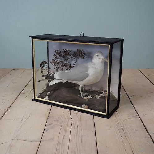 Cased Seagull