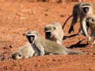 Vervets monkeys at Ngalali Retreat - Kruger, South Africa