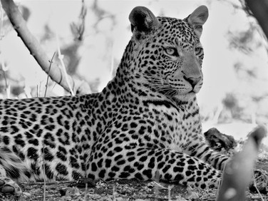 Young leopard at Ngalali Retreat - Kruger, South Africa
