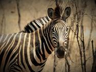 Plain zebra at Ngalali Retreat - Kruger, South Africa