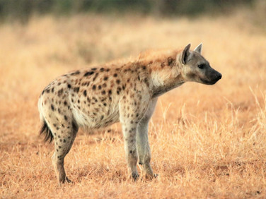 Hyena at Ngalali Retreat - Kruger, South Africa