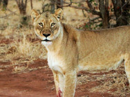 Lioness at Ngalali Retreat - Kruger, South Africa