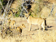 Lioness with cubs at Ngalali Retreat - Kruger, South Africa