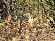 Male lion at Ngalali Retreat- Kruger, South Africa